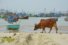 Cow on Mui Ne Beach. A cow on the beach of Mui Ne Fishing Village with some traditional fishing boats in the background Royalty Free Stock Photos