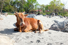 Cow on the beach at the river Ganges in India Stock Image