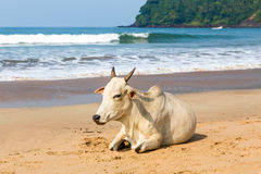 Cow on the beach. White cow on the beach India on sea and sky background Royalty Free Stock Photography