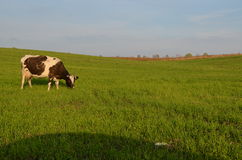 The cow. Stock Photo