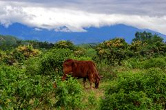 Cow in a beautiful landscape. royalty free stock photography
