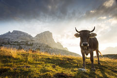 Cow and Beautiful landscape near to National Park Tre Cime di La Stock Images