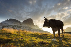 Cow and Beautiful landscape near to National Park Tre Cime di La Royalty Free Stock Photos