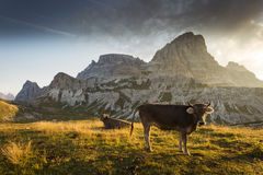 Cow and Beautiful landscape near to National Park Tre Cime di La Royalty Free Stock Images