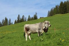 Cow with beautiful traditional bell Royalty Free Stock Photo