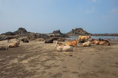 Cow on Beautiful Tropical beach ,Goa, India. Cow on Beautiful Tropical beach ,Goa, India stock photography