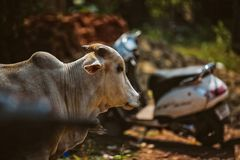 Cow on Beautiful Tropical beach ,Goa, India. Cow on Beautiful Tropical beach ,Goa, India stock image