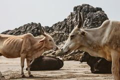 Cow on Beautiful Tropical beach ,Goa, India. Cow on Beautiful Tropical beach ,Goa, India stock images