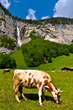 Cow in Beautiful Valley Royalty Free Stock Photos