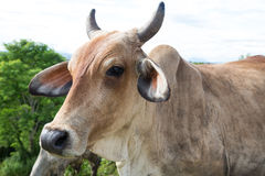 Cow beef cattle Royalty Free Stock Photo