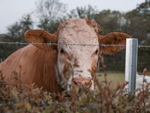 Cow behind barbed wire royalty free stock photography