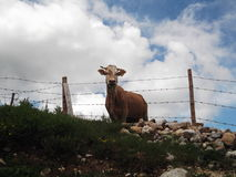 Cow behind the barbed wire Royalty Free Stock Images