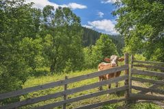 Cow behind a fence in alpine scenery. Summer landscape with a curious cow, behind an old wooden fence, surrounded by green nature, and the Carpathians in the Royalty Free Stock Photos