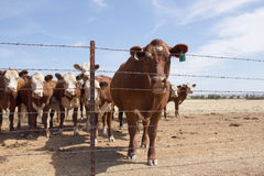 Cow Behind Fence. A large brown cow standing behind a barbed wire fence Royalty Free Stock Photography