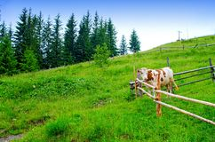 Cow behind the fence in a mountain meadow. Carpathians Ukraine stock image
