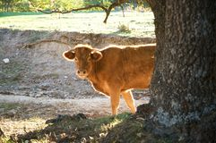 Cow behind tree Royalty Free Stock Image
