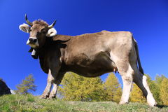 Cow with bell Stock Photo
