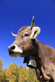 Cow with bell Royalty Free Stock Photography