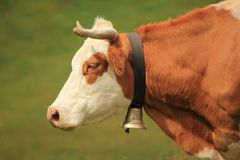 Cow and bell Royalty Free Stock Images