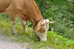 Cow with bell eating grass Royalty Free Stock Photos