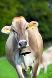 Cow with bell Royalty Free Stock Image