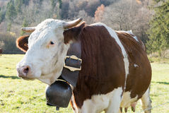Cow with a bell Stock Image