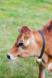 Cow with Bell Standing on Meadow in the Alpes Royalty Free Stock Photo