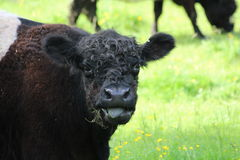 A cow. A belted galloway black and white cow Stock Image