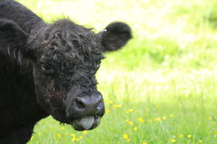 A cow. A belted galloway black and white cow Stock Images