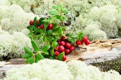 Cow-berries μεταξύ της λειχήνας Στοκ Εικόνες
