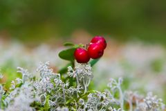 Cow-berry in lichen Royalty Free Stock Image