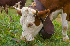 Cow with big bell eating grass Royalty Free Stock Photo