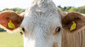 Cow with big eyes Stock Image