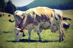 Cow with big udders grazes in the mountains Stock Photos