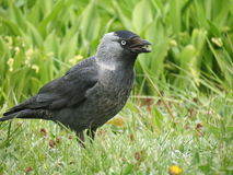 Crow bird. Black crow bird on green grass stock image