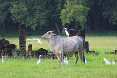Cow and birds. It have relationship to Living together Royalty Free Stock Photo