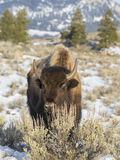 Cow bison behind sagebrush shrub in winter Royalty Free Stock Photography