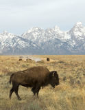 Cow bison in deep grass in from of Tetons Stock Photos