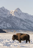 Cow bison in deep snow in meadow in evening light with Tetons in Stock Image