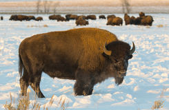 Cow bison in deep snow in meadow in evening light within Tetons Stock Image
