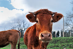 Cow, Bizkaia, Spain Stock Images