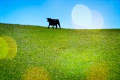 Cow in green pasture royalty free stock photos