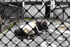 A cow with a black and white color of the fence (net). Cow behind the fence. Cow with black and white fur skins for large net. Domestic cattle in a pen. Cow Stock Photos