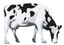 A cow. Black and white cow eating grass Royalty Free Stock Images