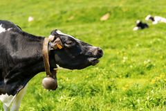 Dairy cow with cowbell on a green pasture. Cow - Black and white heifer with cowbell on a green pasture stock photo