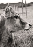 Cow in black and white Royalty Free Stock Photo