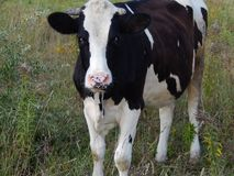 Cow black with white spots stock images