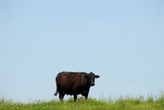 Cow and blue sky Stock Photography