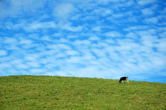 Cow on a blue sky. A cow eating grass with a blue sky behind in Azores, Portugal Royalty Free Stock Images