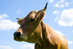 Cow on blue sky background Royalty Free Stock Image